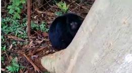 Macaco Bugio ferido é resgatado na Fazenda Mosquito em Orlândia