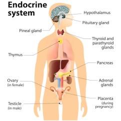 Endocrine System Diagram 2007 Jeep Jk Radio Wiring The Center P C Novaendocenter Hashimotos Disease