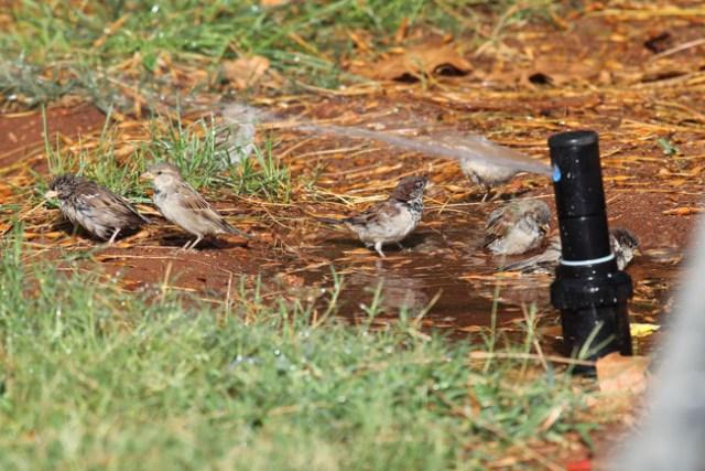 Gorriones refrescándose en una fuente.