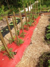 Red Tomato bed