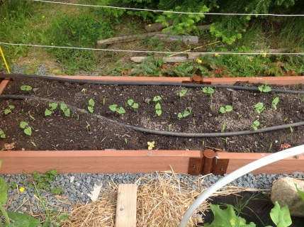 3 sisters bed - corn, pole beans and spaghetti squash