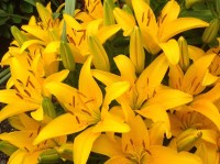 Bumble Bee Lillies