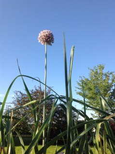 Leek in bloom