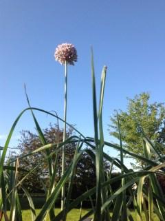 Leek in bloom