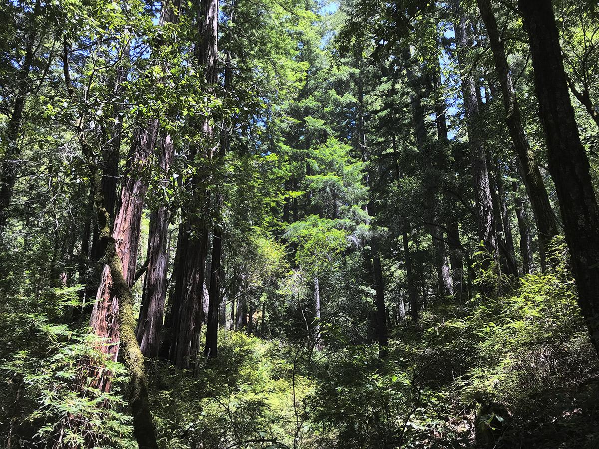 Big Basin Redwoods, photo by Erik S. Peterson, July 2019