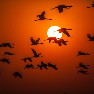 migrating birds in flight