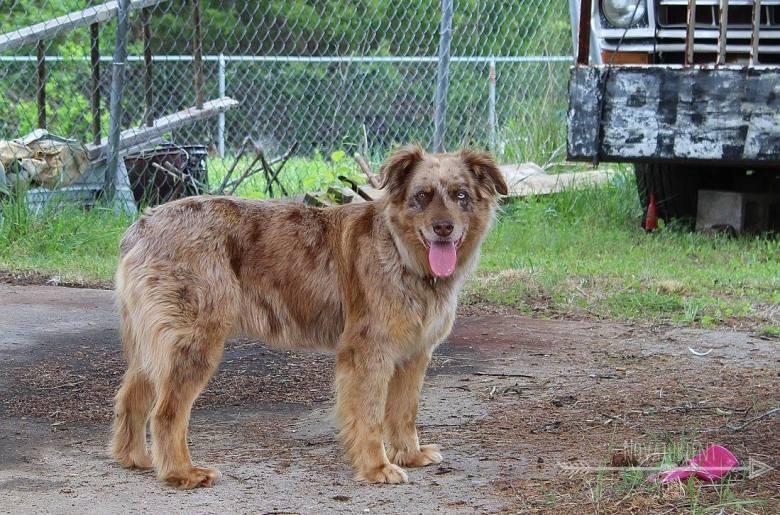Hanna, the amazingly loyal farm dog.