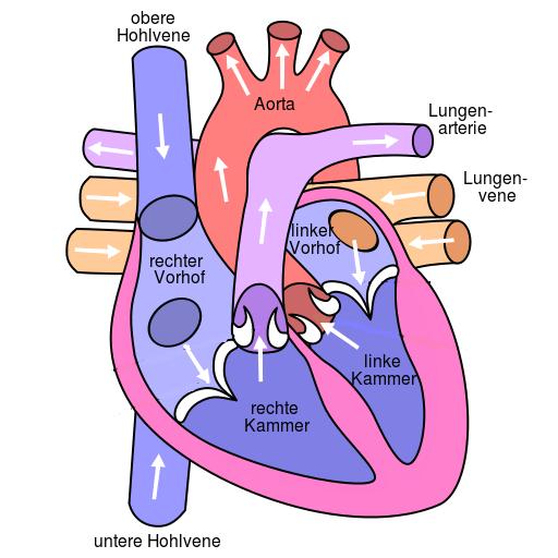 Aufbau Herz