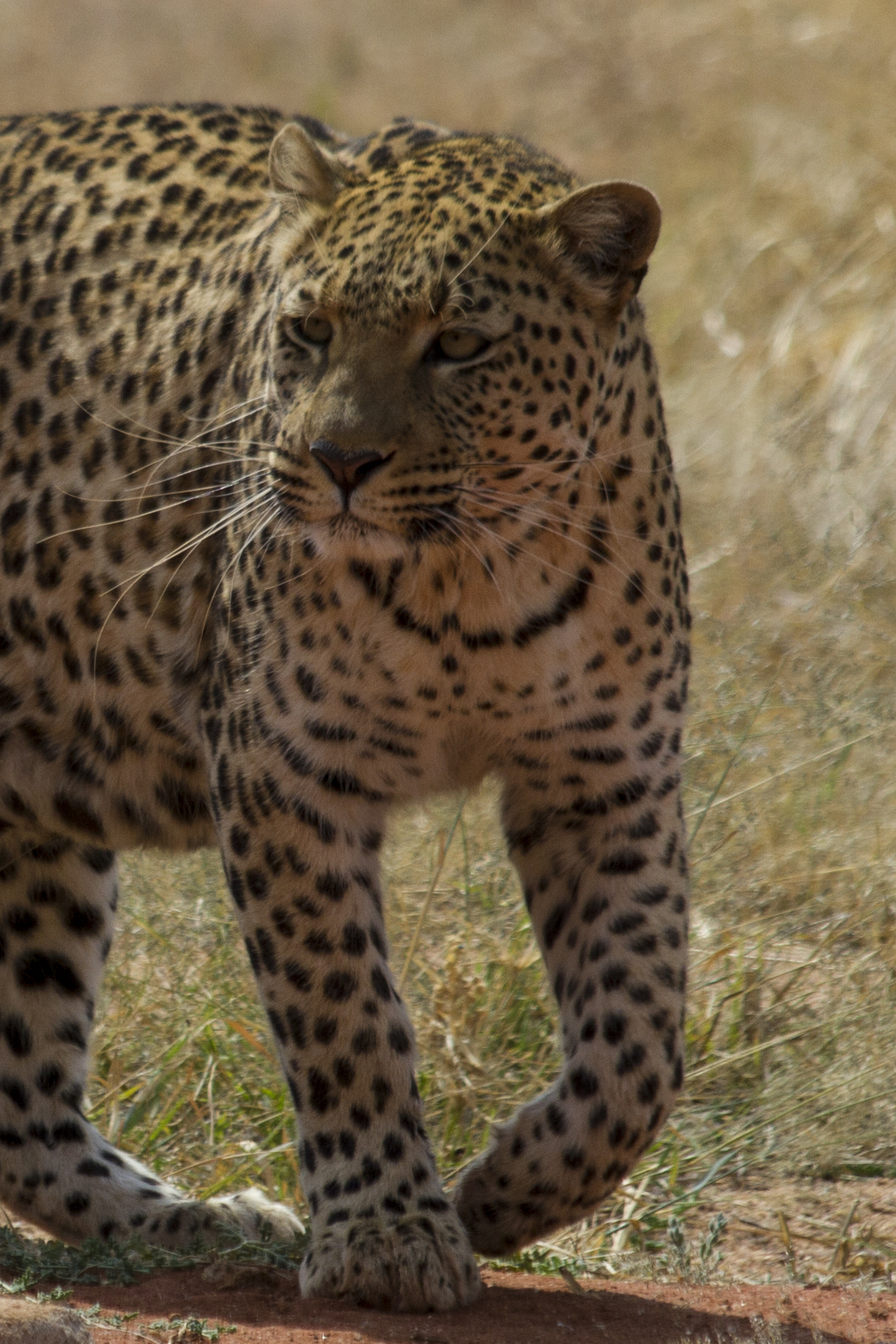 Leopard at Okonjima