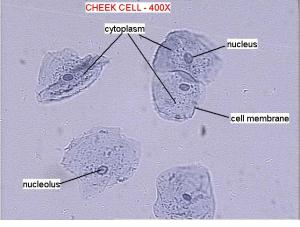 cheeklabel – SCIENCE BLOG Year 9 20182019