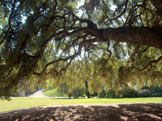 The view from under the Cork Oak (Quercus suber), Royal Tasmanian Botanical Gardens