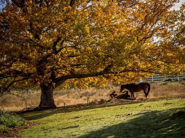 Horses under an oak tree near Ellendale in the Derwent Valley