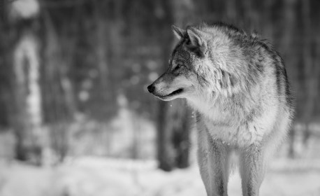 wolf 4k wallpapers background desktop hd iphone allhdwallpapers ultra attack android