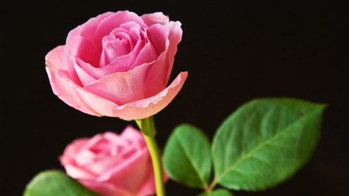 roses pink wallpapers 1080 2560 1440