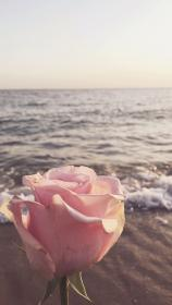 background phone iphone backgrounds very aesthetic pink wallpapers rose sunflower artsy flower nature