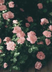 aesthetic pink flower flowers roses backgrounds amazing garden