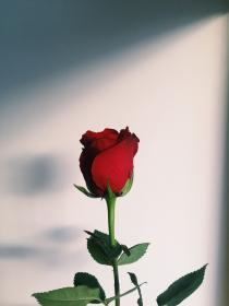 Pin by tatayaaa on ورود ورياحين Aesthetic roses, Red