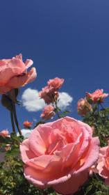 aesthetic pink wallpapers flowers
