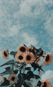 aesthetic wallpapers iphone phone backgrounds sunflowers cave