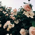 Aesthetic Pink Roses White Background