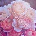 Pink Roses Background Aesthetic