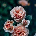 Aesthetic Pink Roses Background