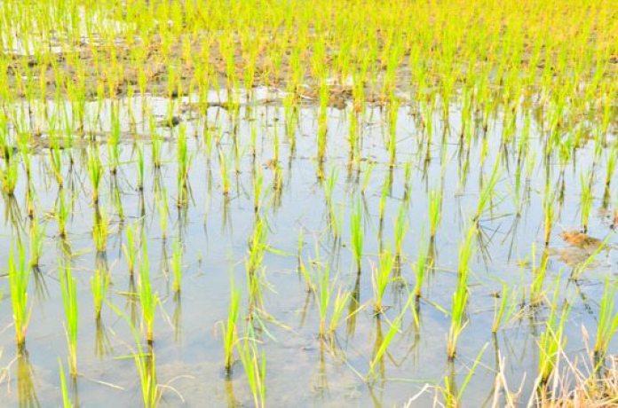 6 Passos Para Iniciar Uma Plantação de Arroz