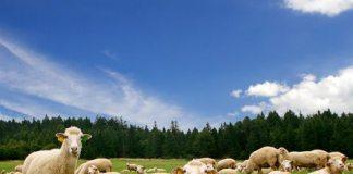 Como Começar Uma Criação de Ovinos
