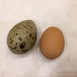 яйцо чаек