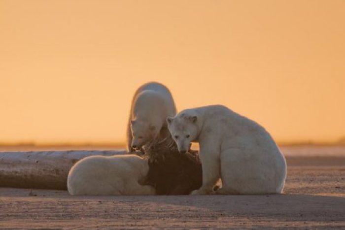 «Нет снега, нет льда» - фото белых медведей на Аляске