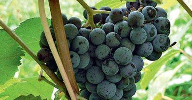 Выращивание винограда в вопросах и ответах