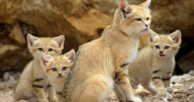 Барханные коты