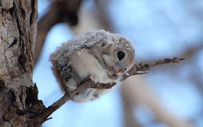 Японские и сибирские летающие белки, вероятно, самые милые животные на Земле