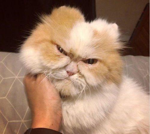"""""""Сердитый"""" кот"""