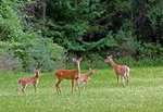Between the house and Buck Creek is a clearing where deer like to visit on a regular basis.