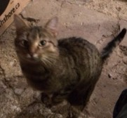 Mister is a nuetered male tabby about a year old.