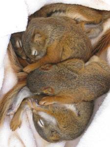 babyredsquirrels