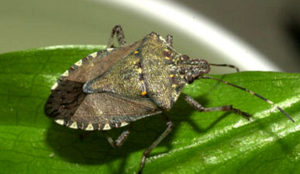 stink-bug-courtesy-photo-david-r-lance-bugwood-org