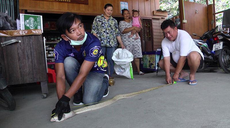 """หวยเด็ด Nowbet Asia เลขเด็ด """"งูเห่าขาว"""" ยาว 179 ซม."""