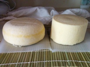 Rounded gouda (left) next to a flat bottomed cheddar (right)