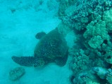 I saw a sea turtle!