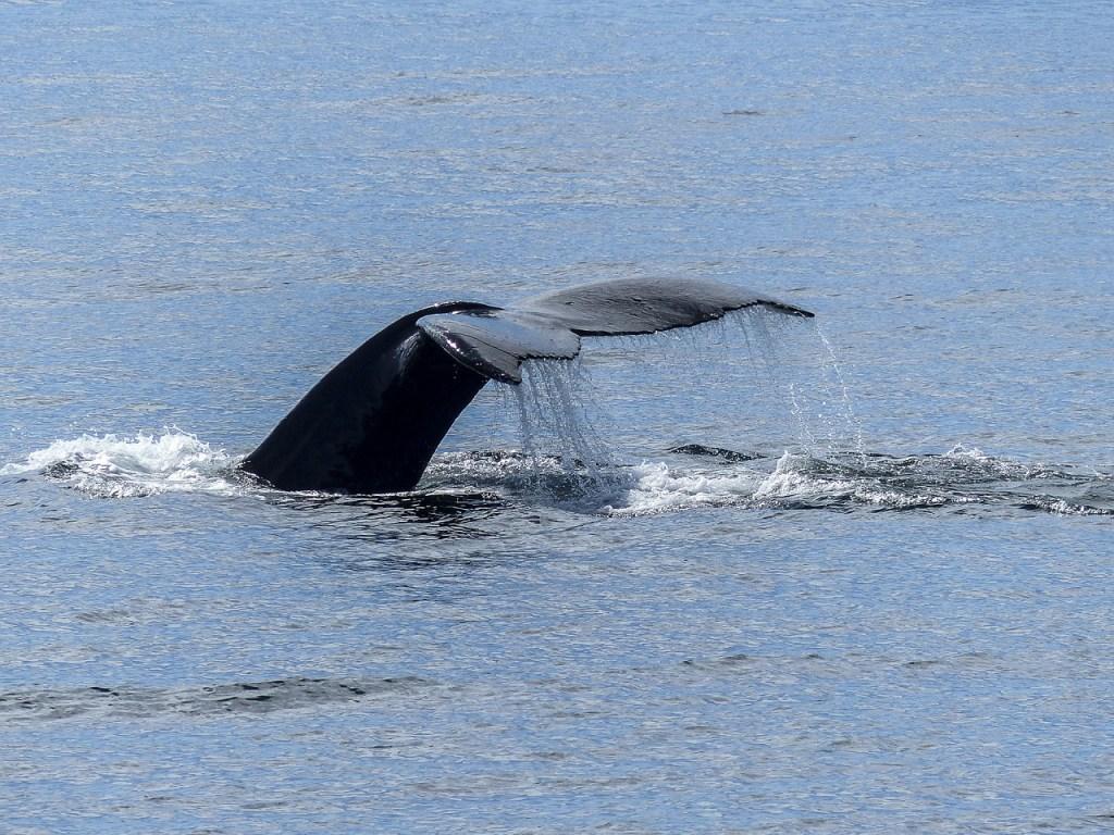 humpback-whale-436111_1280