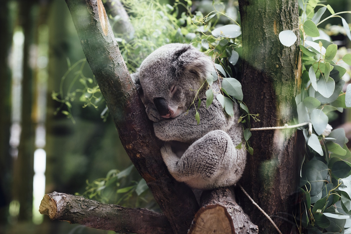 koalas kangourous o voir des animaux en libert en australie. Black Bedroom Furniture Sets. Home Design Ideas