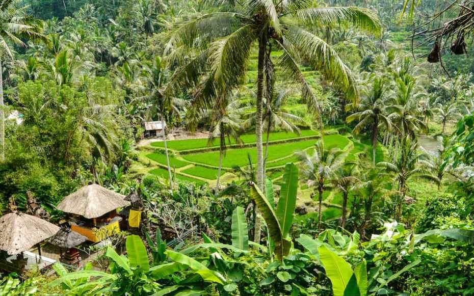 voir les rizières lors d'un voyage à Ubud
