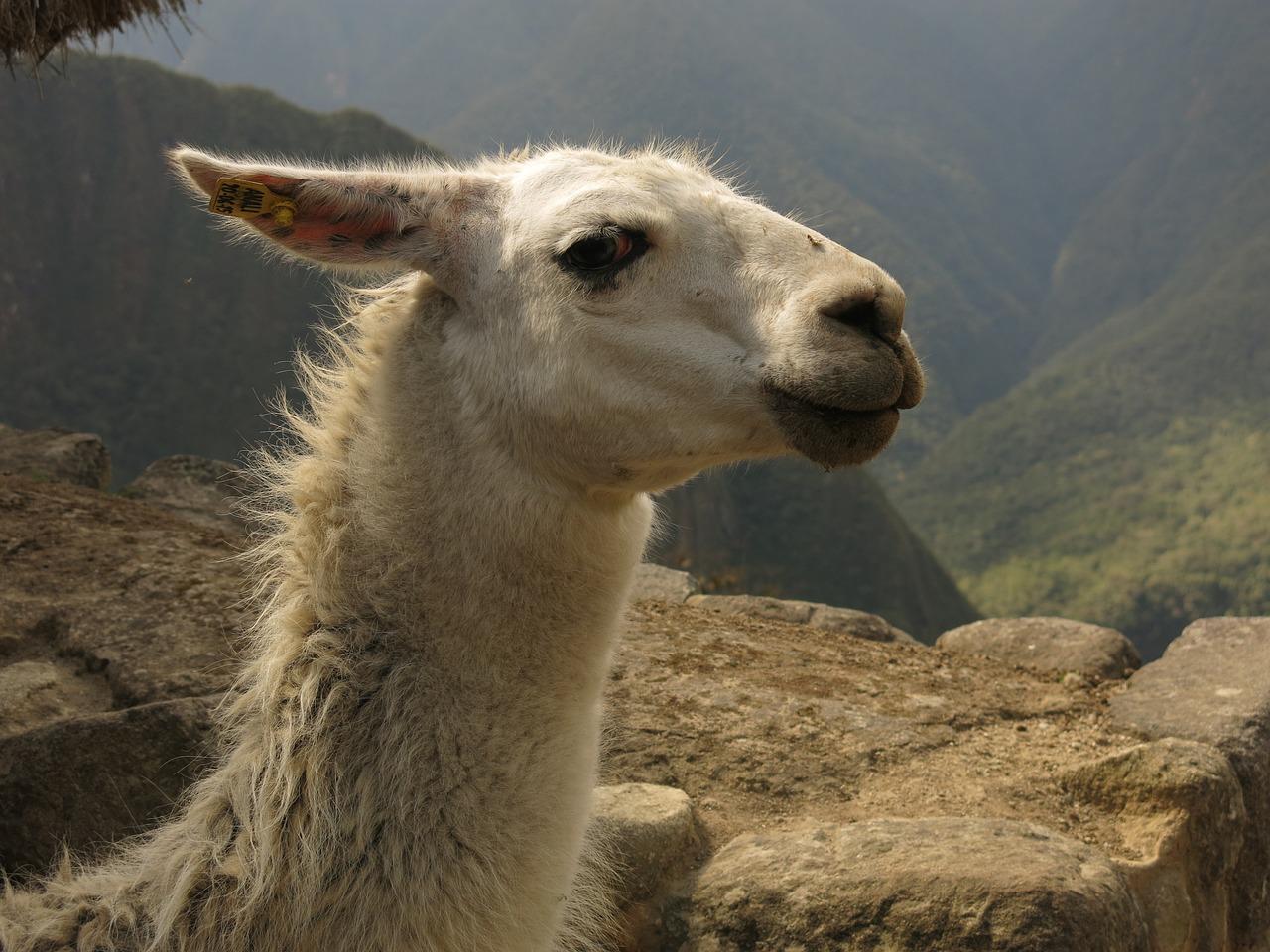 Un lama prend la pose au Machu Picchu