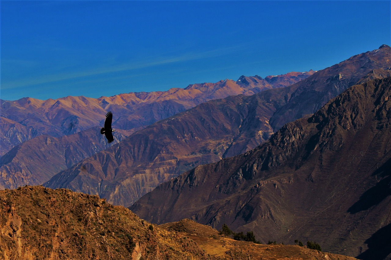 Un condor survole le canyon de Colca, au Pérou