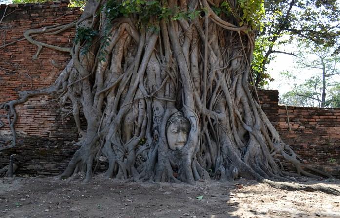 wat maha that buddha entremêlé racines arbre noworries