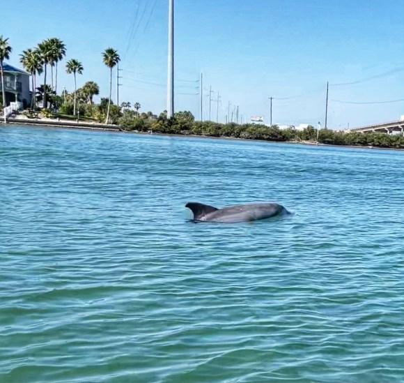 Dolphin in Redfish Bay