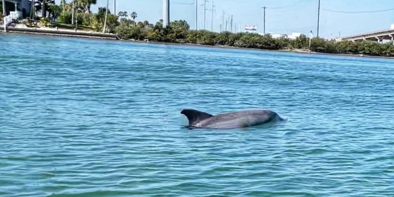 Dolphin in Redfish Bay