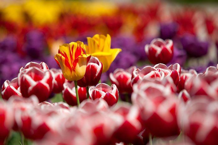 ND_tulipany3
